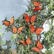 Artificial Monarch Butterflies