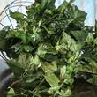 Artificial Ivy Vine Bush