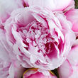 Pink Artificial Peony Bouquet