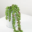 Artificial String of Pearls Succulent Plant