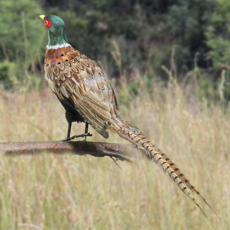 Natural Feather Artificial Pheasant