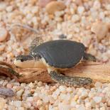 Micro Miniature Sea Turtle